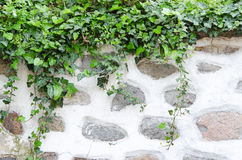 Old stone wall, plaster and green ivy Stock Photo