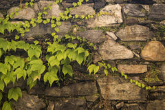 Old stone wall with poison ivy. Growing over it Royalty Free Stock Photo
