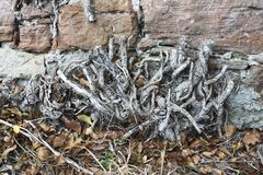 Old stone wall with roots Stock Photography