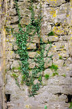 Old stones ivy green castle wall Stock Photos