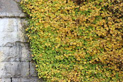 Old stonewall covered with ivy Stock Photo