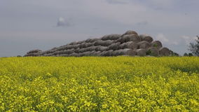 Old straw bales stack on beautiful summer rapeseed field Stock Photo