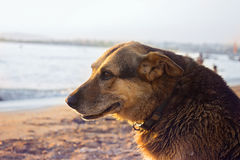 Old stray dog cooling himself on the beach royalty free stock photography