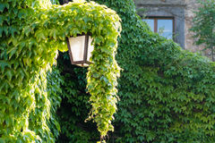 An old street lamp with ivy above Royalty Free Stock Image