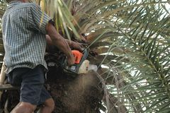 Old strong man gardener is using a heavy duty chainsaw while trimming and cutting large palm trees in gardening work. stock photography