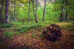 Old stub, fallen autumn leaves Royalty Free Stock Photos