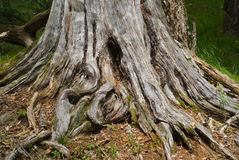 Old stump 2 Royalty Free Stock Image