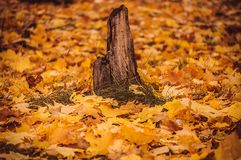 Old stump in the autumn forest Royalty Free Stock Photos