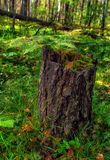 Old stump in autumn forest. In Siberia stock photo