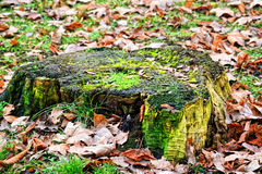Old stump covered with green moss. Old covered with green moss and fallen yellow leaves a tree stump in winter forest Stock Image