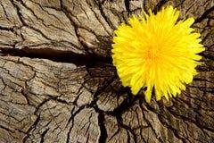 Old stump. Dandelion on an old stump Stock Photo