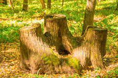 Old stump forest Royalty Free Stock Photo