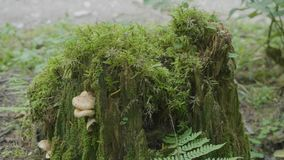 Old stump in the forest covered with moss With large roots. Moss on stump in the forest.  stock footage