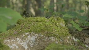 Old stump in the forest covered with moss With large roots. Moss on stump in the forest stock video footage