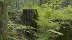 Old stump in the forest covered with moss With large roots. Moss on stump in the forest.  Royalty Free Stock Images