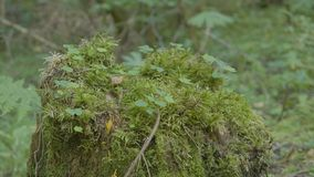 Old stump in the forest covered with moss With large roots. Moss on stump in the forest Stock Photo