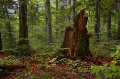 Old stump in forest Stock Photography