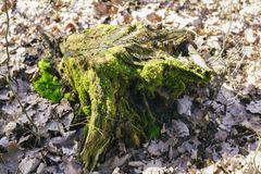 Old stump in the forest Stock Images