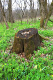 Old stump in forest Royalty Free Stock Photo