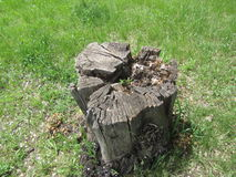 Old stump on the green grass. Old stump in the park on the green grass royalty free stock photo