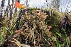 The Old Stump with Honey mushrooms in the autumn forest. Rainy cloudy day. The Old Stump with Honey mushrooms in the autumn forest Stock Photography