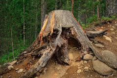 Old stump. A huge old tree stump with bare roots nestled on a clayey stony slope in the dark woods stock photography