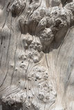 Old stump knotty wood texture Stock Images