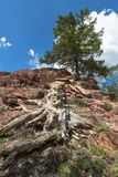 Old stump and larch on a mountain slope Stock Image