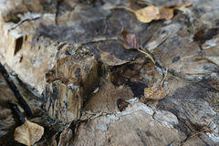 Old stump with leaf Stock Image