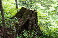 An old stump in the mountainous humid forest in the early morning in the woods Stock Images