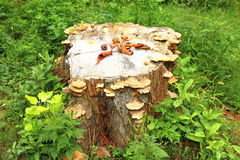 Old stump with mushrooms in green grass Royalty Free Stock Photos