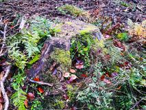 Old stump overgrown with moss in the forest in early autumn stock photography