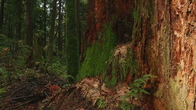 Old Stump, Pacific Northwest Rainforest Stock Photo