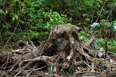 Old stump with roots Stock Image