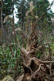 Old stump with roots Stock Photography
