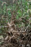 Old stump with roots Royalty Free Stock Photography