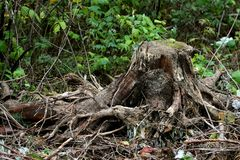 Old stump with roots Stock Images