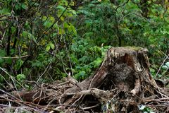 Old stump with roots Royalty Free Stock Photo