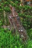 Old stump stuck with mushrooms. In Siberia royalty free stock photo