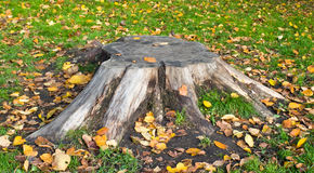The old stump of the tree. Stock Image