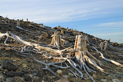 Old stumps Royalty Free Stock Photography