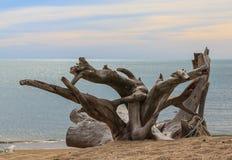 Old stumps Interesting on beaches Stock Photos