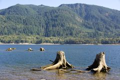 RIVER AND STUMP BEACH. Old stumps lining a rocky, river bed and a forest background Stock Photography