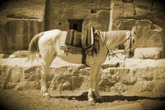 Old style arabian horse. Old, vintage style standing Arabian horse Royalty Free Stock Photo