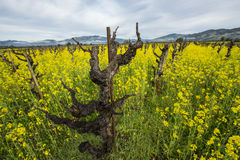 Old-style grape vineyard. Old style grape vineyard, organically grown in California wine country, with yellow mustard cover crop between the vines to provide Royalty Free Stock Photos
