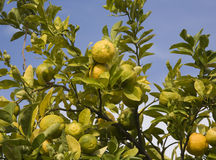 Old style lemon trees Stock Photo