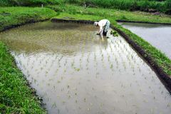 Old-Style Rice Planting. Today, cultivation of rice is all work from planting to harvesting by machines, but in the past it was possible to see such a scene Stock Photo