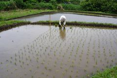 Old-Style Rice Planting. Today, cultivation of rice is all work from planting to harvesting by machines, but in the past it was possible to see such a scene Stock Photos
