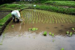 Old-Style Rice Planting. Today, cultivation of rice is all work from planting to harvesting by machines, but in the past it was possible to see such a scene Royalty Free Stock Images