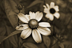 Old style sepia flowers Royalty Free Stock Image